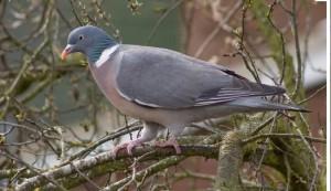 wild wood pigeon
